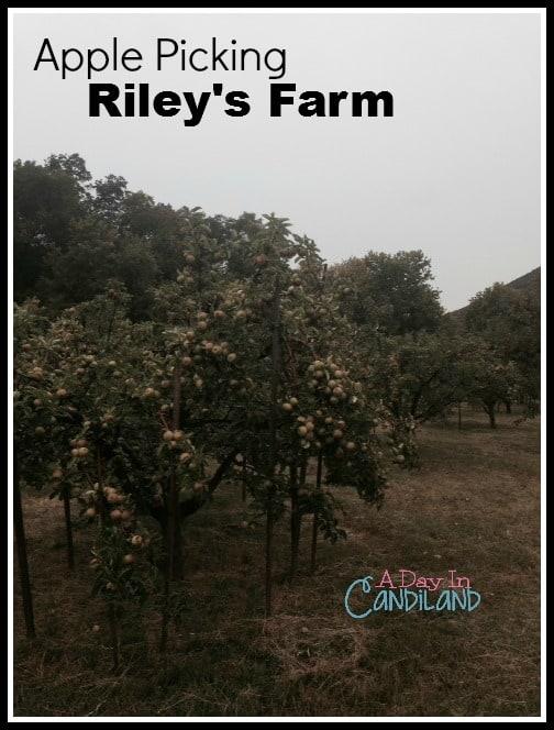 Apple Trees at Rileys Farm