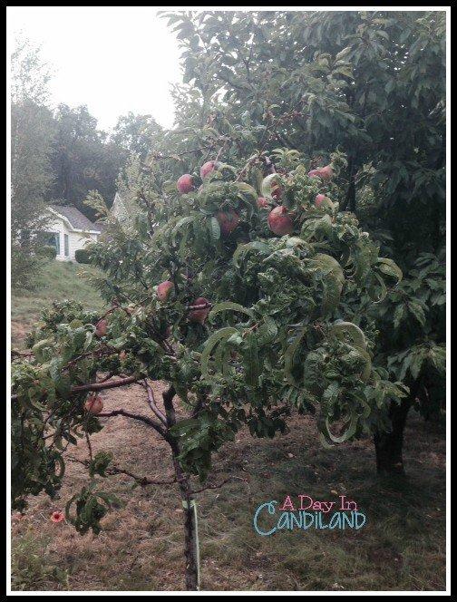 Peach Trees at Rileys Farm