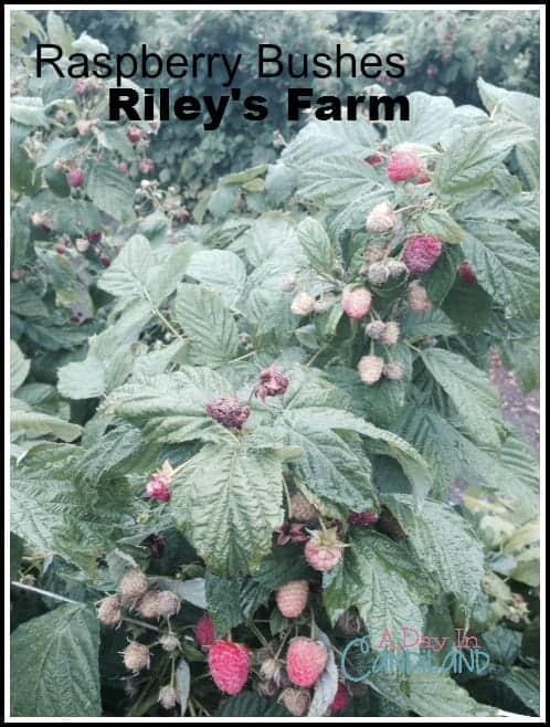 Raspberry Bush at Rileys Farm