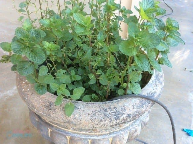 Chocolate Mint Herb Plant